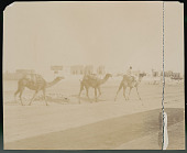 view Man in Costume on Camel, Leading Camel Caravan Near Plaster- Covered Building of Town 1904 digital asset number 1