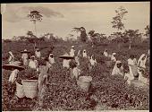 view Assamese women picking tea leaves, undated digital asset number 1
