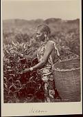 view Assamese woman picking tea leaves, undated digital asset number 1