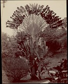 view Travellers Palm in Ceylon Botanical Gardens, undated digital asset number 1