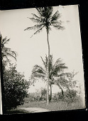 view Coconut Palm Cut for Climbing 05 SEP 1925 digital asset number 1