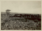 view View of Group of Cattle in Brush Corral; Two Men and Wagon Nearby 1922 digital asset number 1