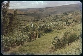 view Hills, banana grove, circa 1956 digital asset number 1