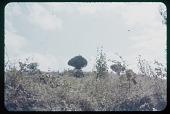 view Euphorbus, circa 1957 digital asset number 1
