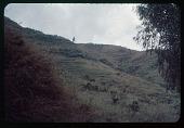 view Vertical agriculture' near Usumbura, circa 1957 digital asset number 1