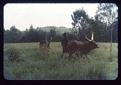 view Cows with Binwa, circa 1957 digital asset number 1