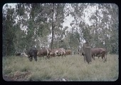 view Tutsi herder with cows, circa 1957 digital asset number 1