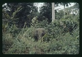 view Young Elephant tied by roadside (Albert National Park), circa 1957 digital asset number 1