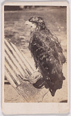 "view ""Old Abe"" Eagle of 8th Wisconsin Volunteers digital asset number 1"