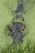view American Alligator digital asset number 1