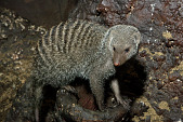 view Banded Mongoose digital asset number 1
