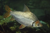 view Flagtail Characin digital asset number 1
