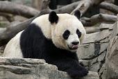 view Giant Panda digital asset number 1