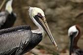 view Brown Pelican digital asset number 1