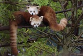 view Red Panda digital asset number 1