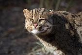 view Fishing Cat digital asset number 1
