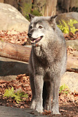 view Gray Wolf digital asset number 1