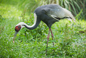 view White-naped Crane digital asset number 1
