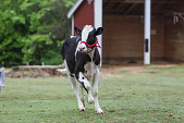 view Holstein Cow digital asset number 1