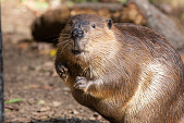 view American Beaver digital asset number 1