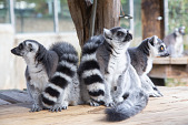 view Ring-tailed Lemur digital asset number 1