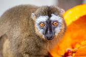 view Red-fronted Lemur digital asset number 1