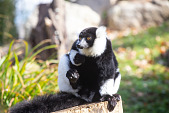 view Black-and-white Ruffed Lemur digital asset number 1