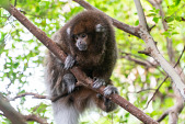 view White-eared Titi Monkey digital asset number 1