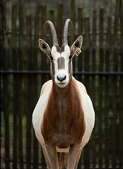 view Scimitar-horned Oryx digital asset number 1