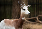 view Dama Gazelle digital asset number 1