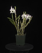 view Dendrobium To My Kids 'Smile' digital asset: Photographed by: Creekside Digital
