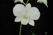 view Dendrobium Blushing digital asset: Photographed by: Eugene Cross