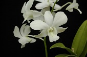 view Dendrobium hybrid digital asset: Photographed by: Eugene Cross
