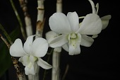 view Dendrobium hybrid white digital asset: Photographed by: Eugene Cross