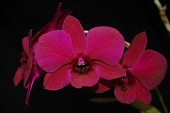 view Dendrobium Purple Ace digital asset: Photographed by: Eugene Cross