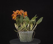 view Rhyncholaeliocattleya Lise Calov 'Exotic Orchids' digital asset: Photographed by: Creekside Digital