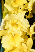 view Dendrobium Sunny Bird 'Shine Day' digital asset: Photographed by: Gene Cross