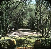 """view Lotusland: the olive walk with a blanket of English daisies at """"Cuesta Linda."""" digital asset: Lotusland: the olive walk with a blanket of English daisies at """"Cuesta Linda."""": [between 1914 and 1949?]"""