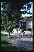 view [Untitled Garden in Los Angeles, California]: bronze Japanese cranes at rear terrace. digital asset: [Untitled Garden in Los Angeles, California] [slide]: bronze Japanese cranes at rear terrace.