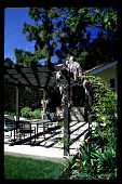 view [Untitled Garden in Los Angeles, California]: arbor with wisteria and pool terrace. digital asset: [Untitled Garden in Los Angeles, California] [slide]: arbor with wisteria and pool terrace.
