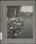 view [Elizabeth Park]: looking into the rose garden, with Rosa rugosa 'Gloire de Chedane Guinoiseau' in the foreground. digital asset: [Elizabeth Park] [photographic print]: looking into the rose garden, with Rosa rugosa 'Gloire de Chedane Guinoiseau' in the foreground.