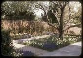 view [Les Ormes]: terrace planting of daffodils and grape hyacinths. digital asset: [Les Ormes] [slide (photograph)]: terrace planting of daffodils and grape hyacinths.