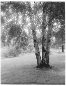 view [Royal Botanic Gardens, Kew]: birch trees. digital asset: [Royal Botanic Gardens, Kew] [glass negative]: birch trees.