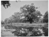 view [Royal Botanic Gardens, Kew]: looking across the Lake to a large specimen tree, probably an oak. digital asset: [Royal Botanic Gardens, Kew] [glass negative]: looking across the Lake to a large specimen tree, probably an oak.