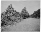 view [Royal Botanic Gardens, Kew]: an expanse of flowering shrubs and trees. digital asset: [Royal Botanic Gardens, Kew] [glass negative]: an expanse of flowering shrubs and trees.