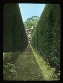 view [Sudeley Castle]: the topiaried yew hedge. digital asset: [Sudeley Castle]: the topiaried yew hedge.