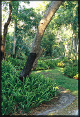 view [Eubank Garden]: view of partially manicured area; plants include saw palmetto and Boston or sword fern. digital asset: [Eubank Garden]: view of partially manicured area; plants include saw palmetto and Boston or sword fern.: 2007 Jun.