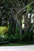 view [Palm Beach Garden]: A mature banyan tree at the entrance to the property with vining golden pothos, tree ferns, and philodendron. digital asset: [Palm Beach Garden]: A mature banyan tree at the entrance to the property with vining golden pothos, tree ferns, and philodendron.: 2016 Mar.