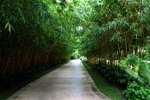 view [Palm Beach Garden]: Bamboo lines the tabby driveway made from oyster shell concrete. digital asset: [Palm Beach Garden]: Bamboo lines the tabby driveway made from oyster shell concrete.: 2015 May.