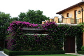 view [Palm Beach Garden]: The service area of the house is covered in bougainvillea with a clipped boxwood hedge. digital asset: [Palm Beach Garden]: The service area of the house is covered in bougainvillea with a clipped boxwood hedge.: 2016 Apr.